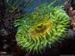 Green Anemone, Vancouver Island, National Geographic