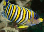 Regal Angelfish, National Geographic
