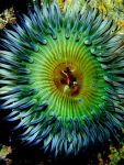 Sea Anemone, National Geographic