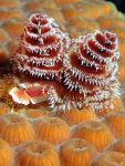 Christmas Tree Worms, National Geographic