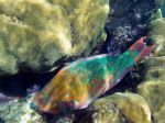 Parrotfish, National Geographic