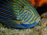 Striped Surgeonfish, National Geographic