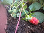 22-04-2012 First Strawberries