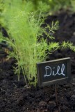 Dill plant growing in vegetable garden