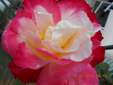 Roses have many colours, it is a great way to coulor your balcony/garden, Perama 2013 Credit: Camille Delcour