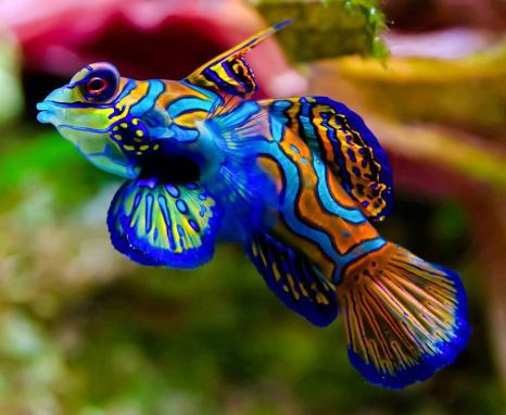 "4 The mandarinfish or mandarin dragonet, Facebook page ""Wild for Wildlife and Nature"", https://www.facebook.com/pages/Wild-for-Wildlife-and-Nature/310529905732374?fref=ts"