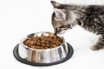 Domestic cat kitten at feeding dish side view