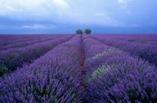 Lavender fields before a storm in Provence