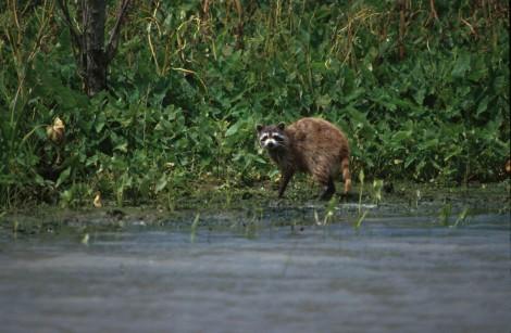 Raccoon_in_bayou